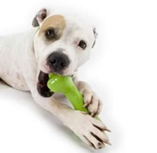Staffy_Staffordshire_bull_terrier_dog_training_help_kent_thanet_medway_towns_Ashford_maidstone_Tonbridge_dog_trainer_puppy