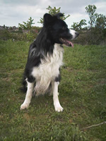 border_collie_dog_ training_dog_trainer_canine_behaviour_kent