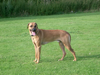 Rhodesian-Ridgeback-dog-training-dog-trainer-home-visit-services-kent